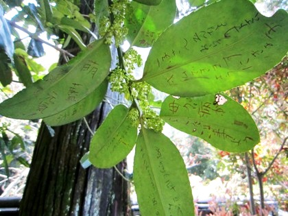 法起院多羅葉樹