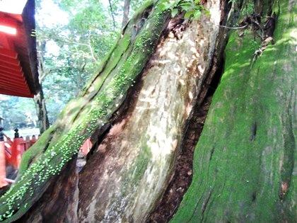 水谷神社の神木