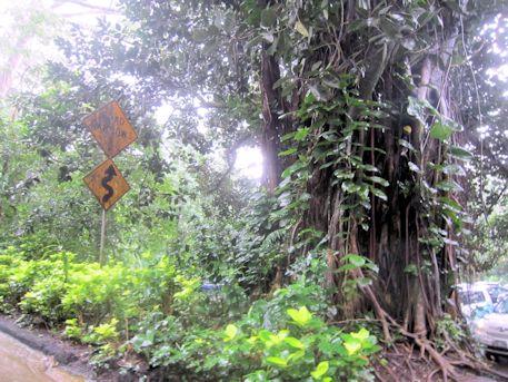 マノアのバニヤンツリー
