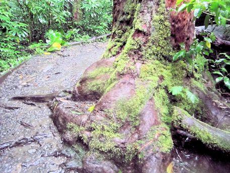 マノア滝の木の根っこ