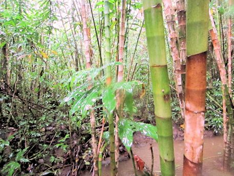 マノアの滝トレイルコースの竹