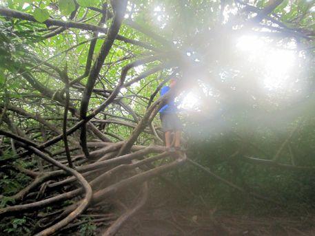 マノア・フォールズ・トレイルの木