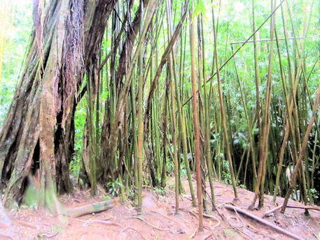 マノア・フォールズ・トレイルの竹林