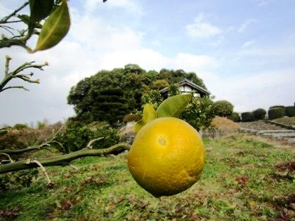 天武持統天皇陵と柑橘