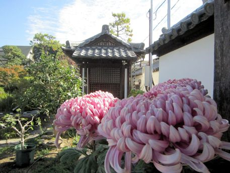 十輪院の菊花