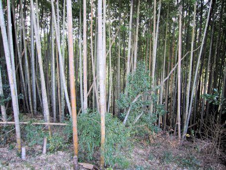 槇ヶ峯古墳の竹林