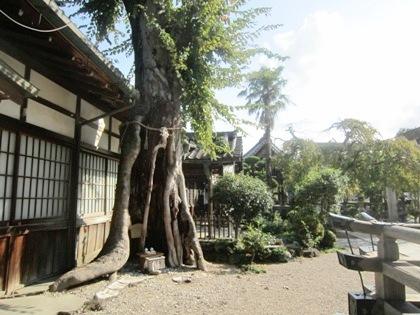 恵比須神社のケヤキ