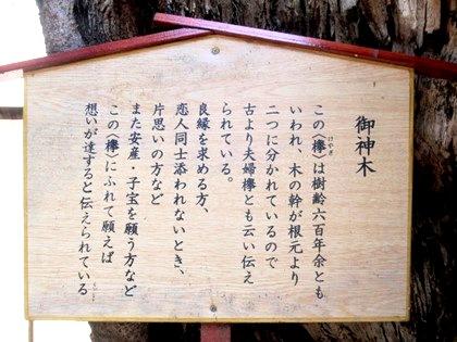 恵比須神社の槻