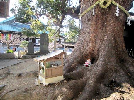 大念仏寺の楠