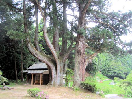 七廻峠の婆羅門杉