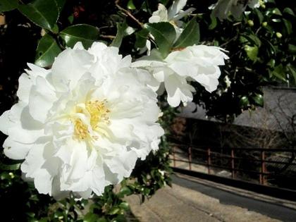 長谷川の山茶花