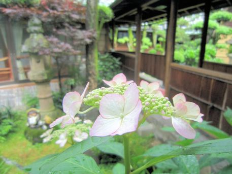 大正楼中庭の紫陽花