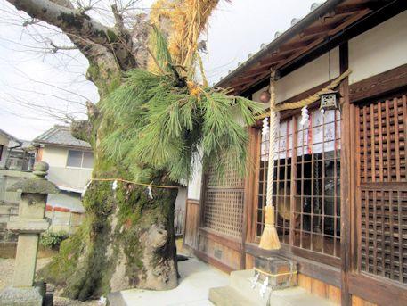 素戔嗚神社の御神木