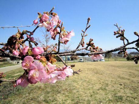 馬見丘陵公園の河津桜