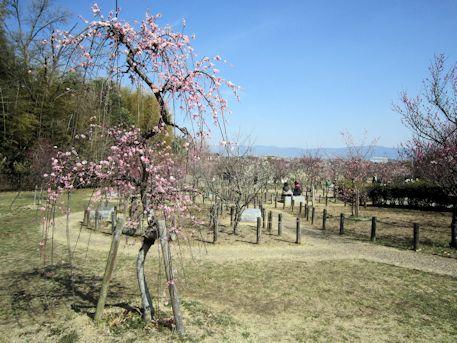 馬見丘陵公園の梅林