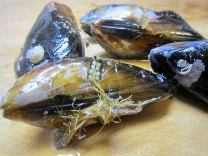 ムール貝の足糸