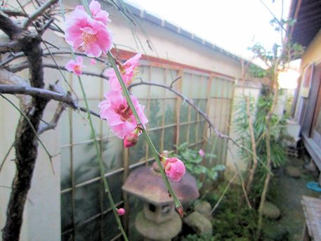 大正楼坪庭の梅花