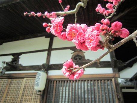 飛鳥寺の梅