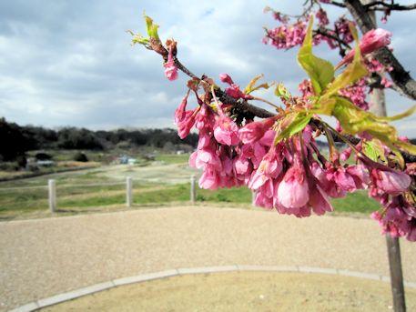飛鳥京跡苑池の寒緋桜
