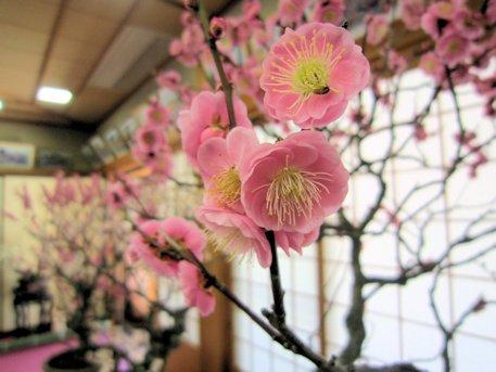 菅原天満宮の盆梅展