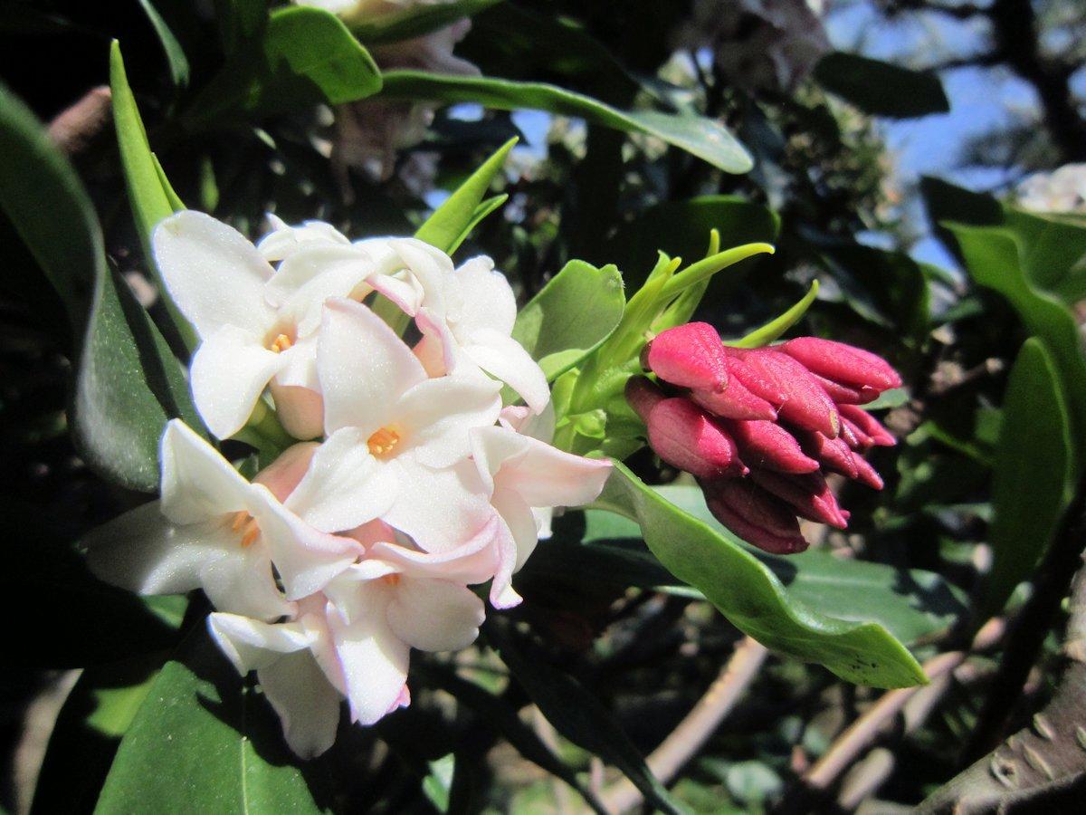大正楼中庭の沈丁花