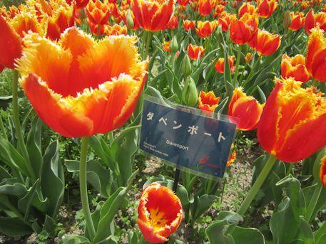 フリンジ咲きのダベンポート
