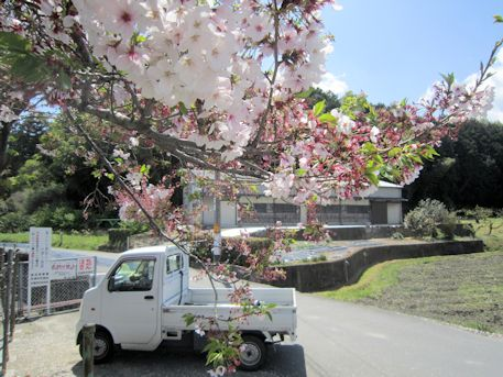 御所市室の桜