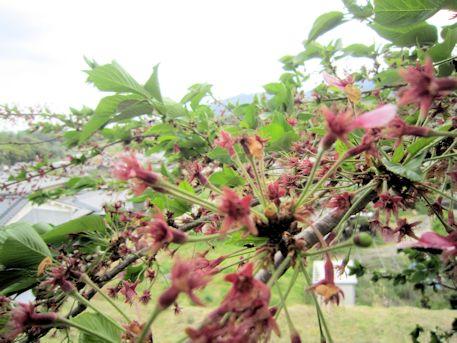 岩屋山古墳の桜