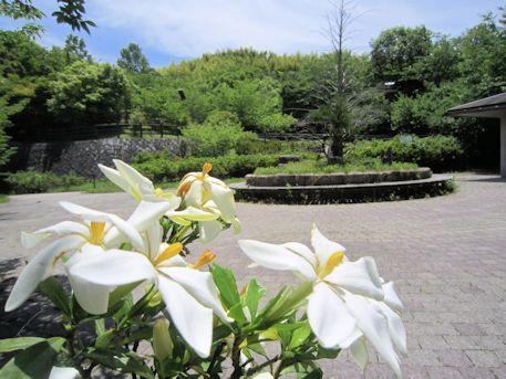 櫟本高塚公園のクチナシ