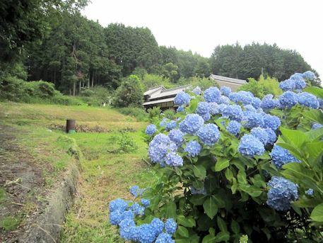 小治田安萬侶墓と紫陽花