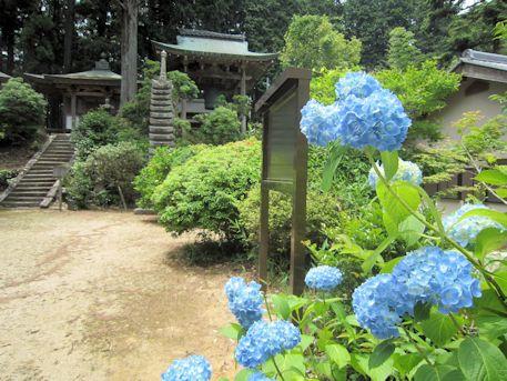 多田来迎寺の紫陽花