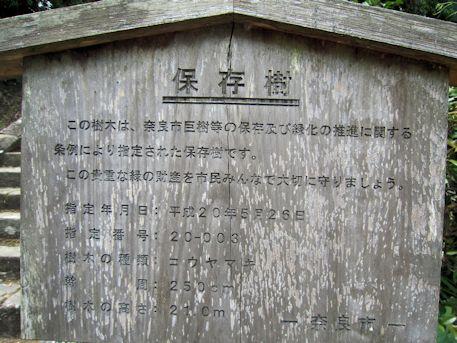 保存樹コウヤマキ