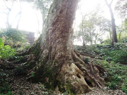 奈良豆比古神社の樟