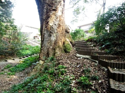 奈良豆比古神社の楠