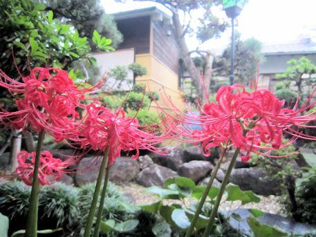 中庭の彼岸花