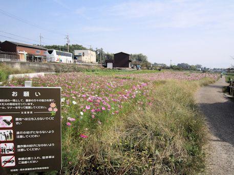 法起寺のコスモス畑