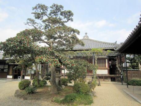 中宮寺のクロガネモチ